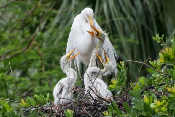 Great Egret with 3 Hungry Chicks