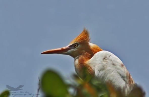 Cattle Egret- Bubulcus Ibis