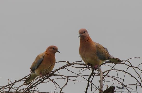 Laughing Doves- Stigmatopelia Senegalensis