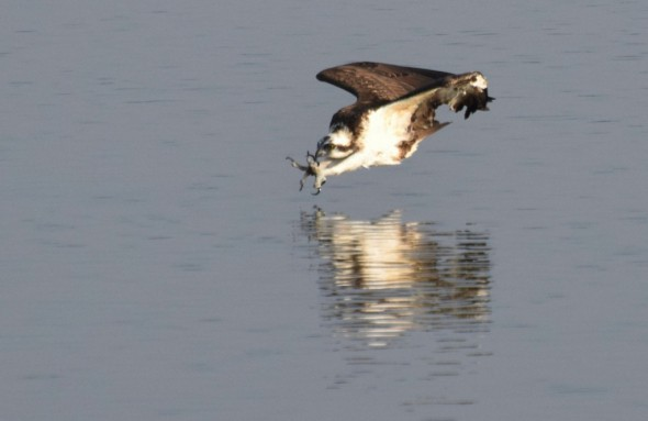 Osprey: in for the Kill