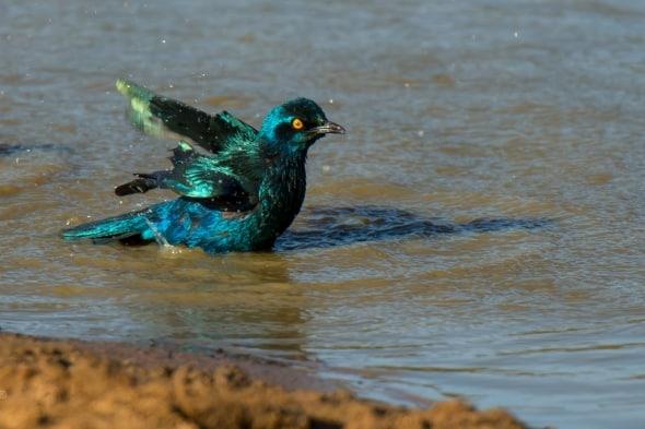 Blue Eared Starling Bathing