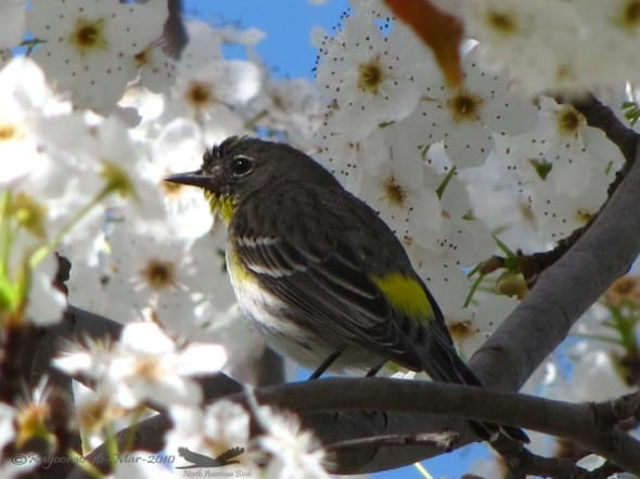 Yellow-rumped Warbler- Setophaga Coronata