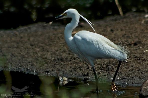 Little Egret- Egretta Garzetta