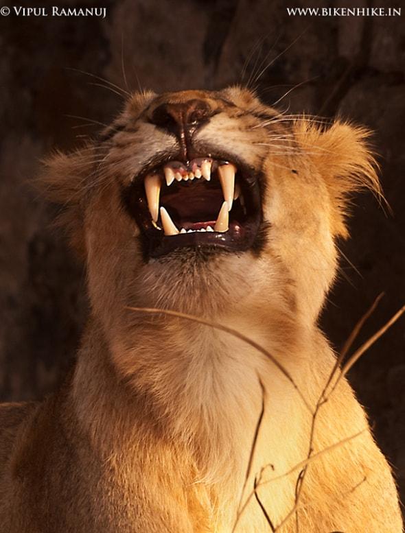 Asiatic Lion | Panthera Leo Persica | Gir