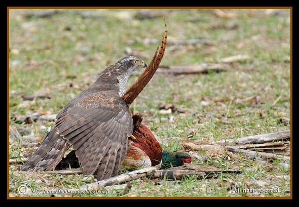 Goshawk-pheasant Dual