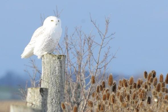 Snowy Owl in Bright Sunlight