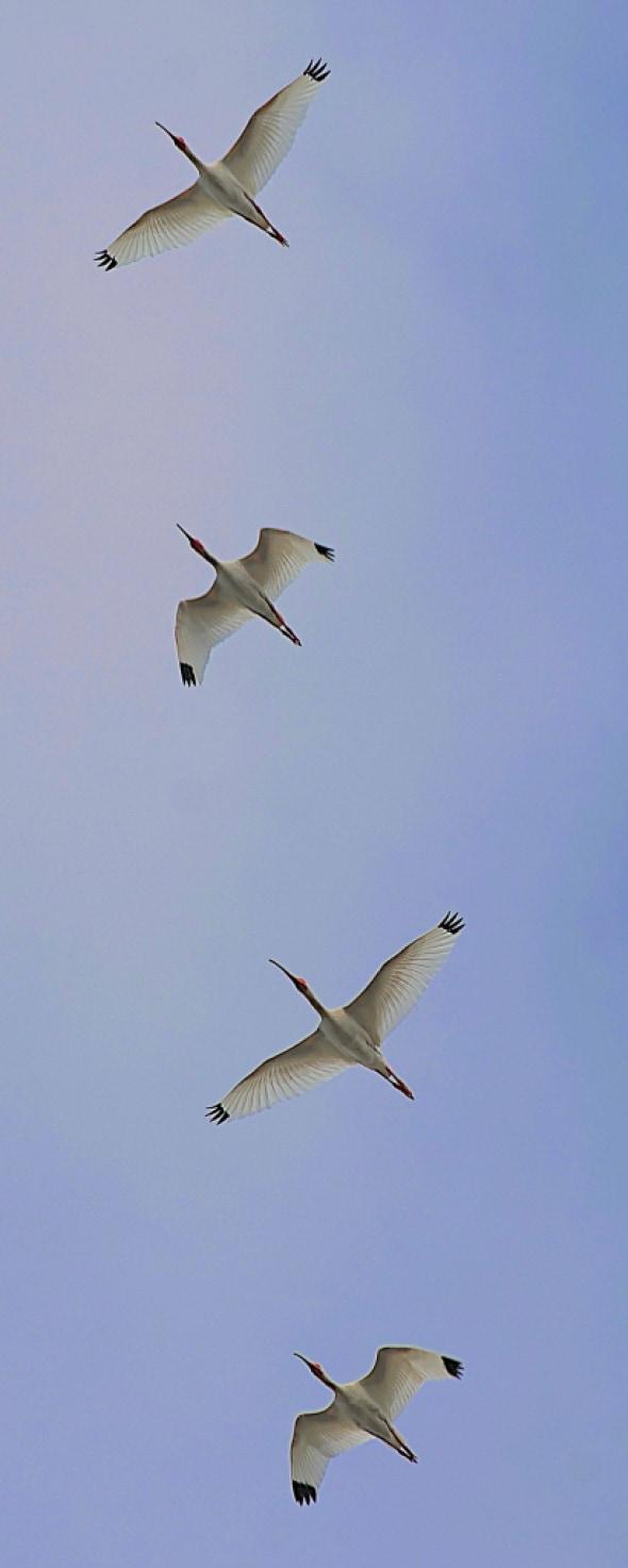 White Ibis Symmetry