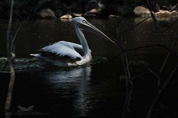 Spot-billed Pelican- Pelicanus Philippensis