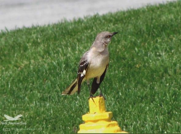 Northern Mockingbird- Mimus Plyglottos
