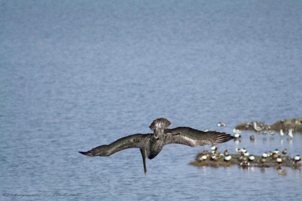 Brown Pelican- Pelicanus Occidentalis
