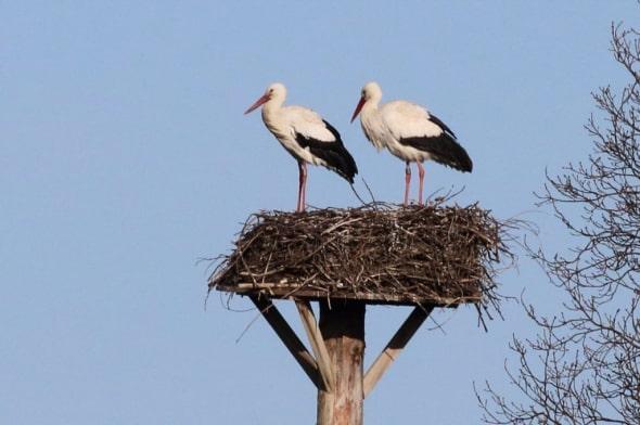 White Storks Building Nest