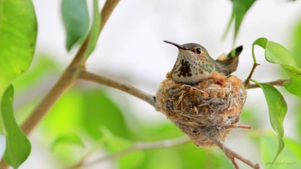 Patience is a Virtue - Allen's Hummingbird