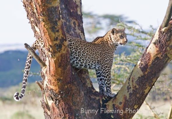 Leopard Eyeing Prey