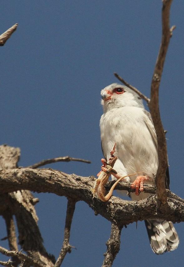 Pygmy Falcon and Breakfast