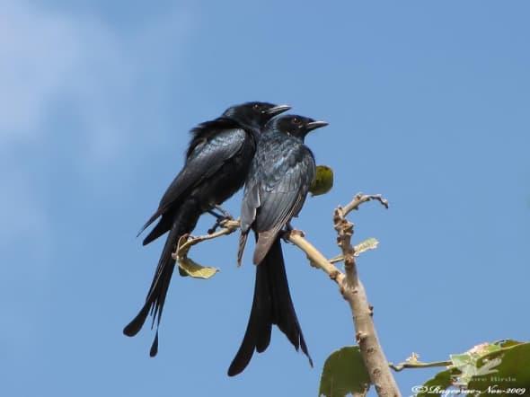 Black Drongo- Dicrurus Macrocercus