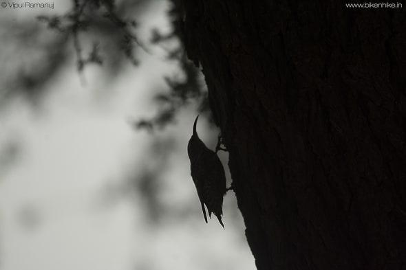 Spotted Creeper | Salpornis Spilonotus