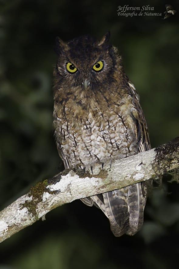 Black-capped screech Owl
