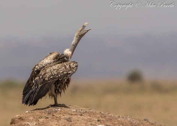 Rüppell's Vulture Gyps Rueppelli