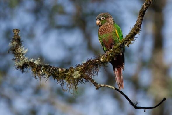 Flame-winged Parakeet