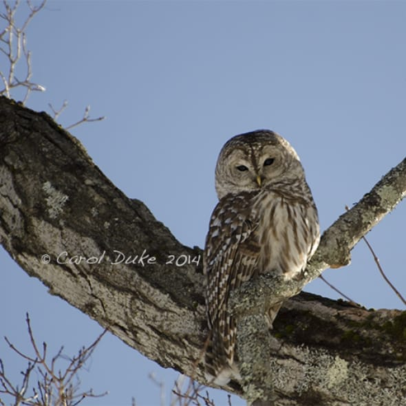 Winter Guest - Barred Owl