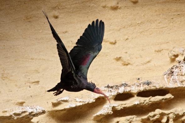 Northern Bald Ibis Geronticus eremita