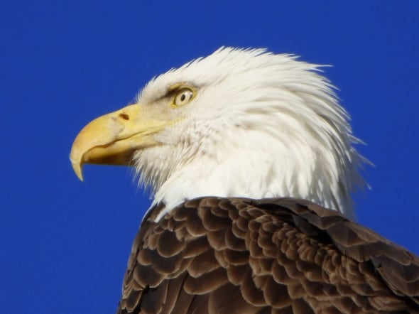Ready for My Close-up, American Bald Eagle