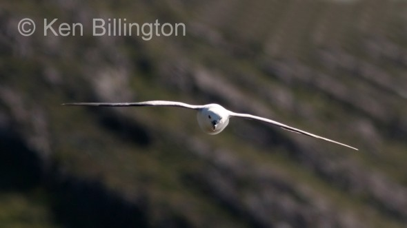 Northern Fulmar (Fulmarus glacialis) (2)