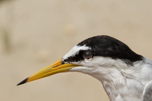 Little Tern Portrait