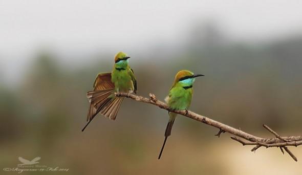 Green Bee-eaters- Merops Orientalis