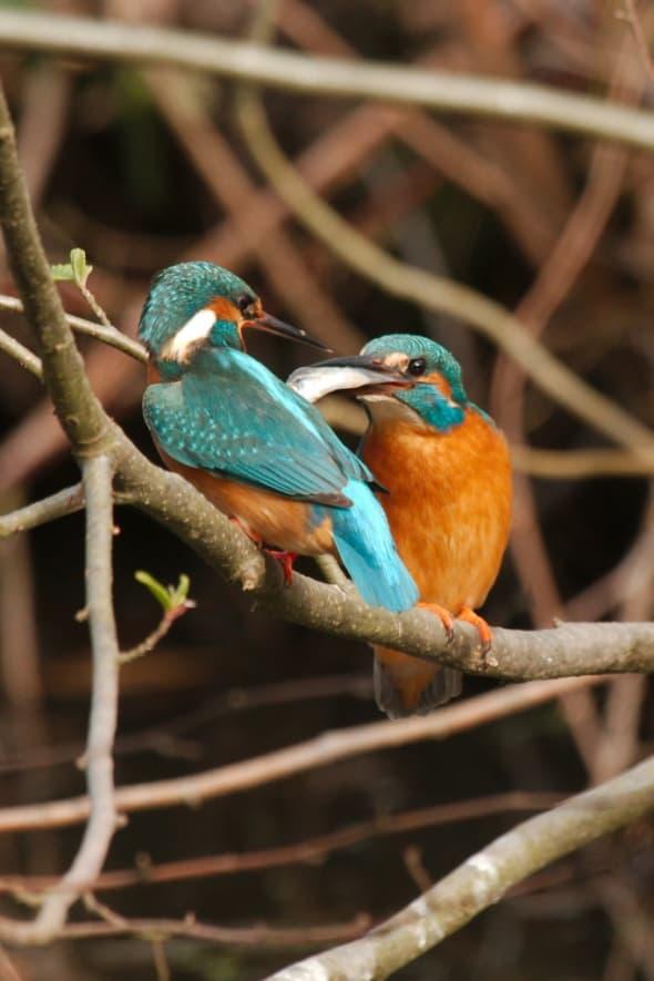 Fish Handover to Nesting Female Kingfisher