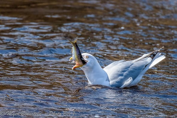 Herring Gull Eating a Herring