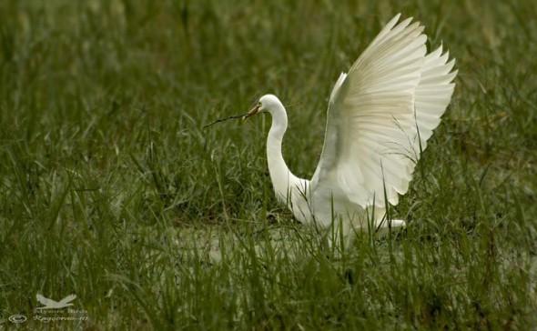 Great Egret- Casmerodius Alba