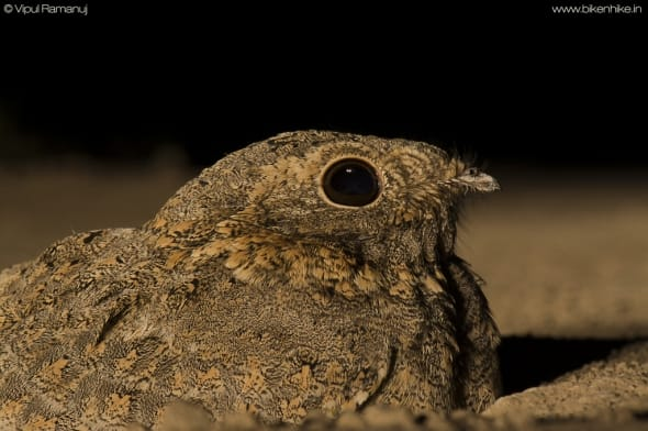 Sykes's Nightjar | Caprimulgus Mahrattensis