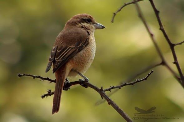 Brown Shrike- Lanius Cristatus