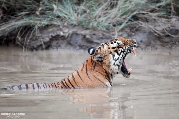 Bengal Tiger Panthera tigris-tiger-panthera-tigris