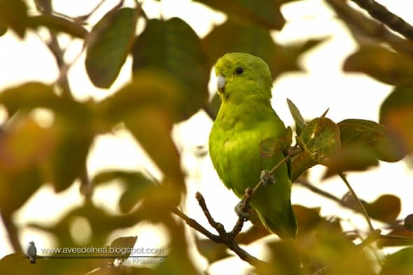 Blue-winged Parrotlet Forpus xanthopterygius