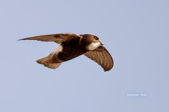Little Swift Apus affinis