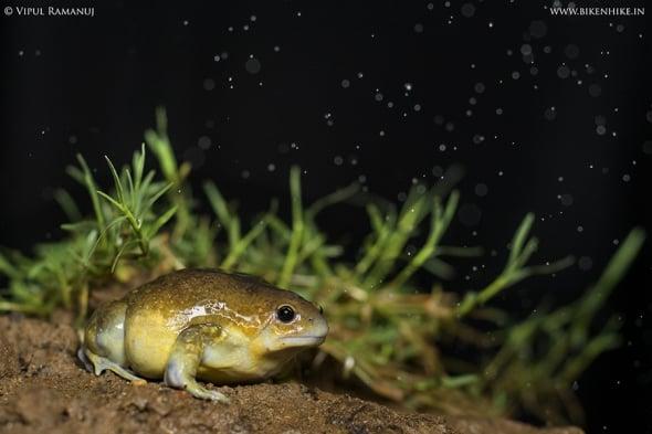 Indian Balloon Frog | Uperodon Globulosus