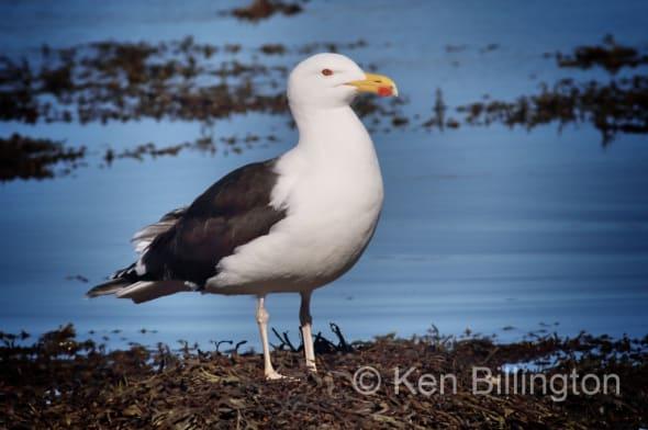 Great Black-backed Gull Larus Marinus