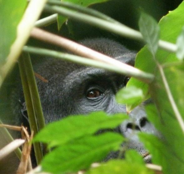 Lowland Gorilla Male 5 Yrs