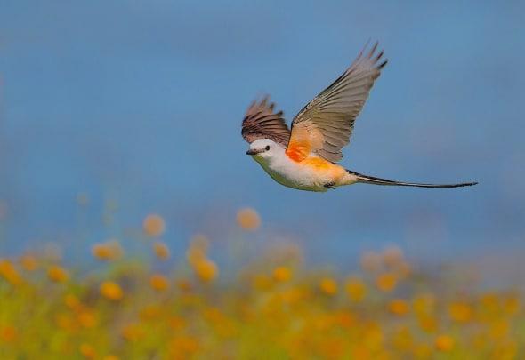 Texas Spring: Scissor-tailed Flycatcher