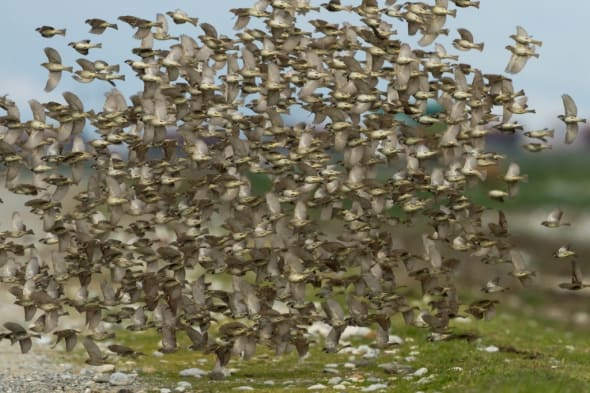 Spanish Sparrows
