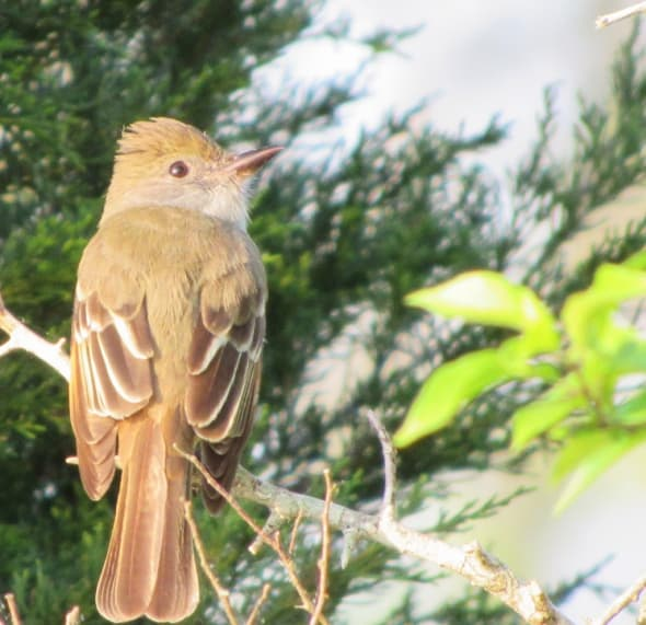 Early Morning Great-crested Flycatcher