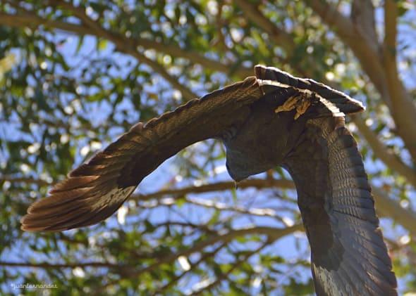 Solitary Eagle