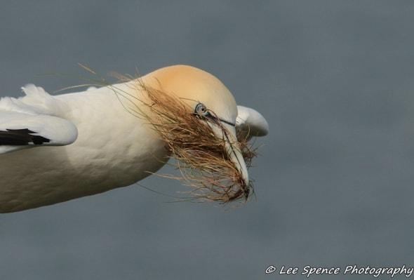 The Bearded Gannet