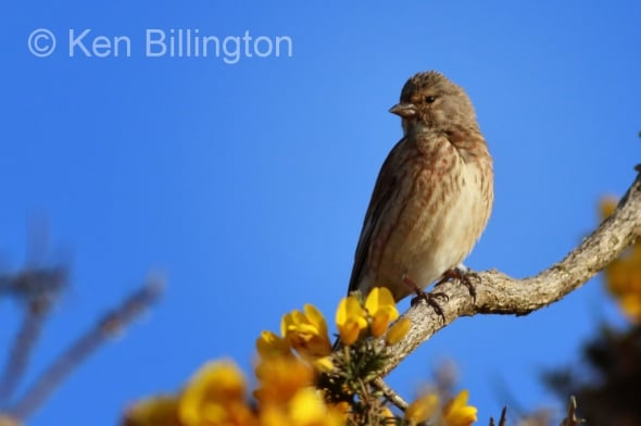 Linnet on Yellow Gorse