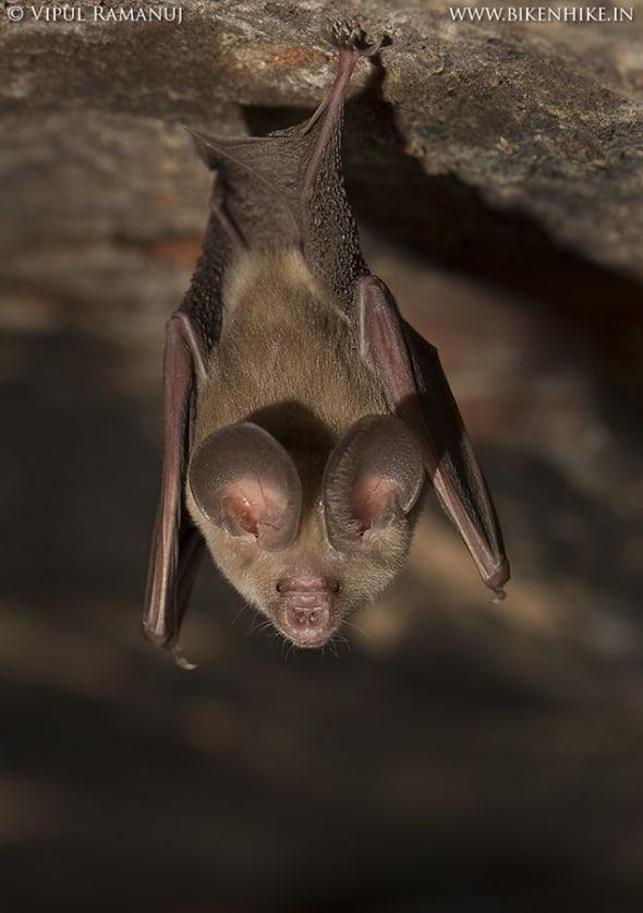 Hipposideros Fulvus | Fulvous Leaf-nosed Bat