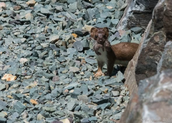 Weasel with Baby