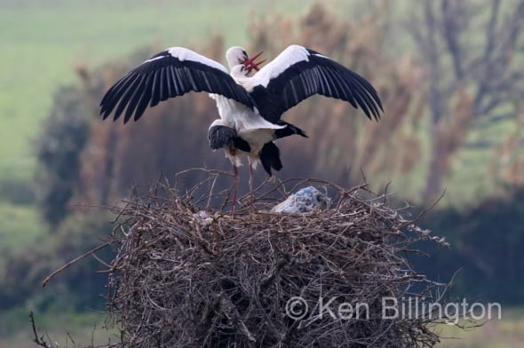 Love is All Around - White Storks Mating