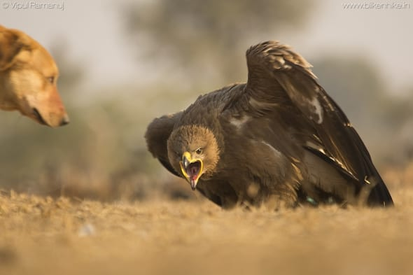 Steppe Eagle Standing Its Ground.